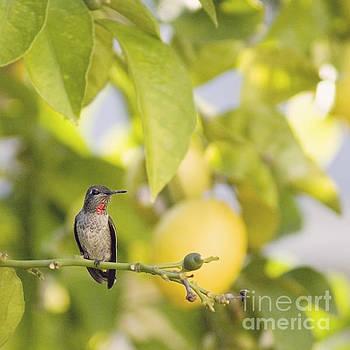 Hummingbird in lemon tree by Cindy Garber Iverson