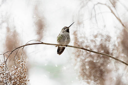 Peggy Collins - Hummingbird in Snow