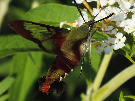 Cindy Treger - Clearwing Hummingbird Moth Close Up