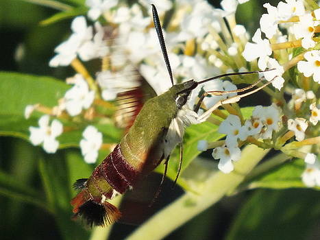 Cindy Treger - Olive Green Clearwing Hummingbird Moth