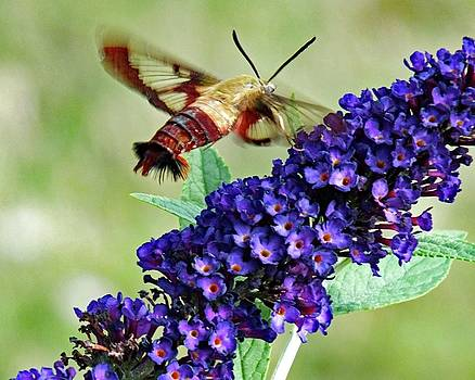 Cindy Treger - Clearwing Hummingbird Moth And Purple Butterfly Bush