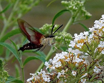 Cindy Treger - Hummingbird Moth - Clearwing  Side View