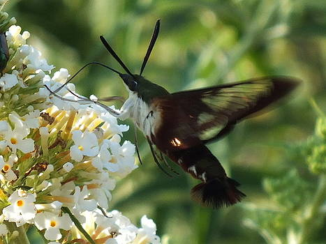Cindy Treger - In The Shadows - Clearwing Hummingbird Moth