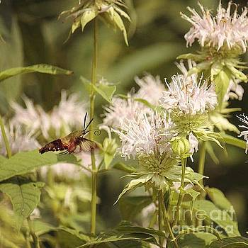 Hummingbird Moth by Jamie Kerns