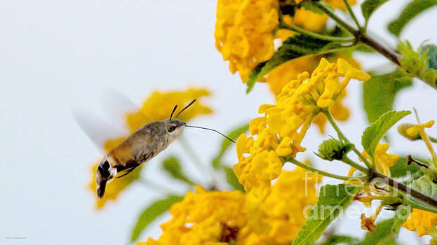 Hummingbird Moth by Jason Christopher