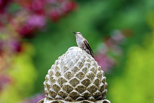 Hummingbird on Garden Water Fountain by David Gn