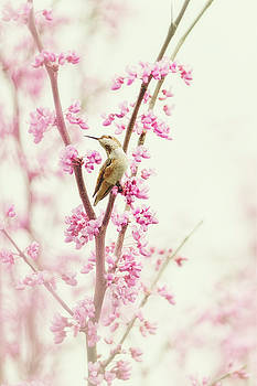 Hummingbird Perched Among Pink Blossoms by Susan Gary