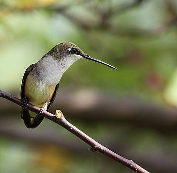Hummingbird Profile by Kelly Lucero