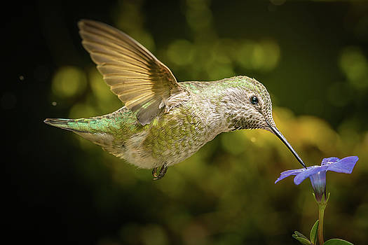 Hummingbird profile with blue flower by William Lee