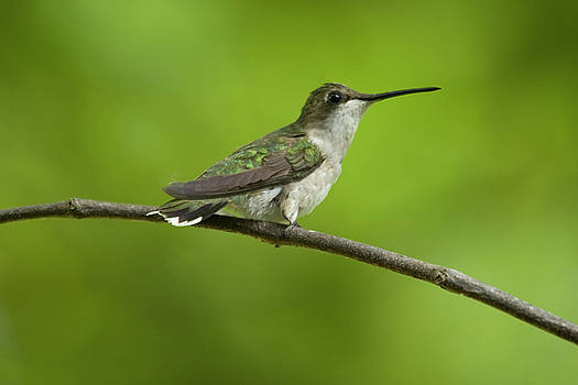 Hummingbird by Reva Dow