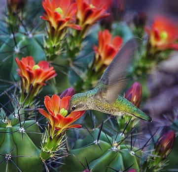 Saija Lehtonen - Hummingbird Sipping on Cactus Nectar
