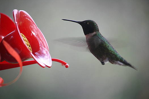 Annie Babineau - hummingbird visit