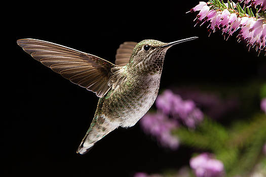 Hummingbird visit Heather flowers by William Freebilly photography