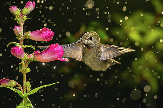 Hummingbird visits flowers in raining day by William Lee