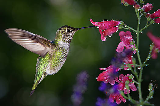 Hummingbird visits flowers with raindrops by William Freebilly photography