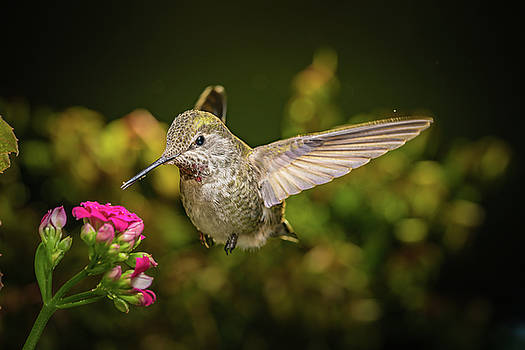 Hummingbird visits pink flowers by William Lee