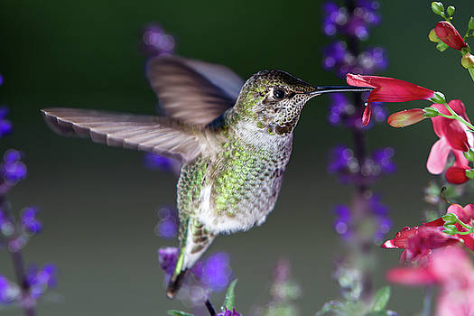 Hummingbird visits pink flowers with purple flowers in background by William Freebilly photography