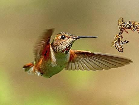 Hummingbird Vs. Bees by Sheldon Bilsker