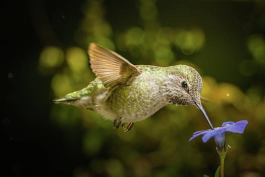 Hummingbird with beak down on blue flower by William Lee