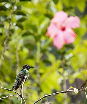 Oscar Gutierrez - Hummingbird with hibiscus
