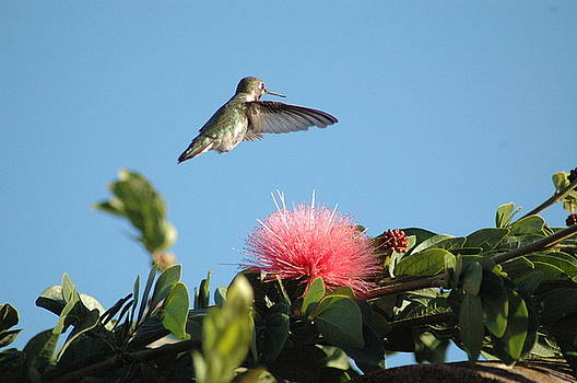 Hummingbird with Pink Flower by Wanda Jesfield