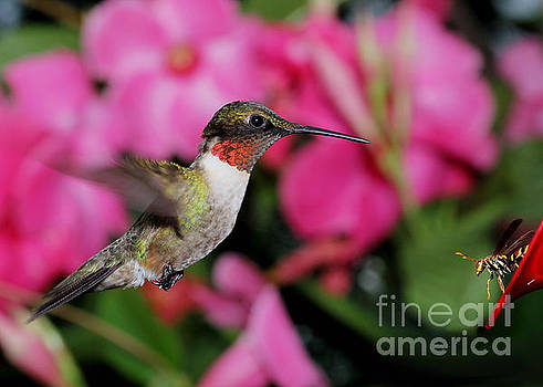 Hummingbird with Wasp by Ramona Edwards