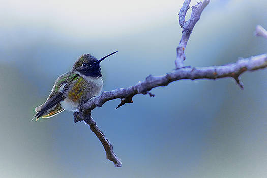 Hummingbird11 by Loni Collins