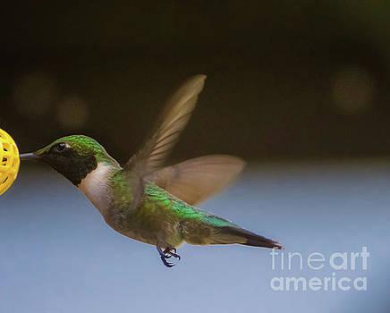Hummingbirds  by Peggy Franz