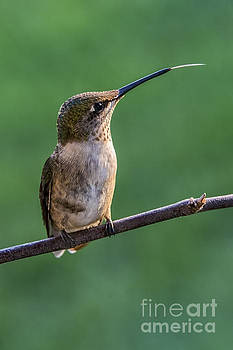 Hummingbird's Quick Tongue by Madonna Martin