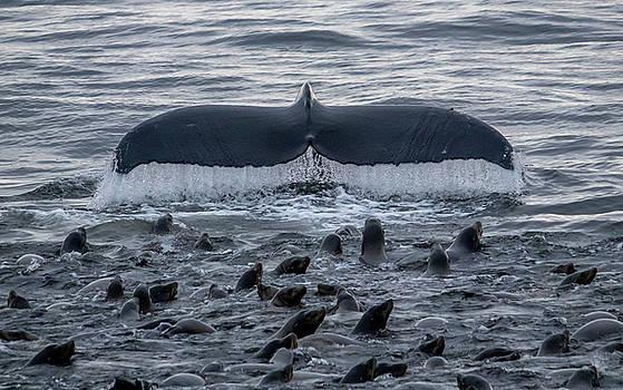 Humpback and Sea lions by Randy Straka