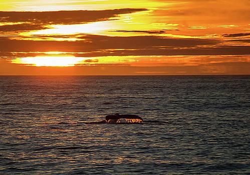 Humpback at Sunset, Monterey 2 by Randy Straka