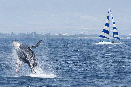 MARVIN JIMENEZ - Humpback Calf Breaching