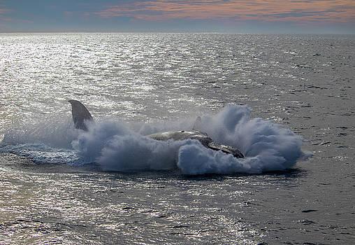 Humpback Splashdown, Monterey Bay by Randy Straka