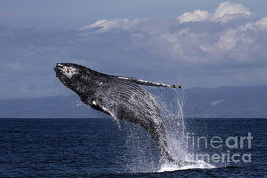 California Views Archives Mr Pat Hathaway Archives - Humpback  whale in a full breach, April 10, 2017 Photo by Pat Hathaway