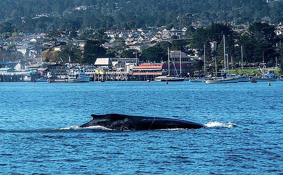Humpback Whale Monterey Harbor 2 by Randy Straka