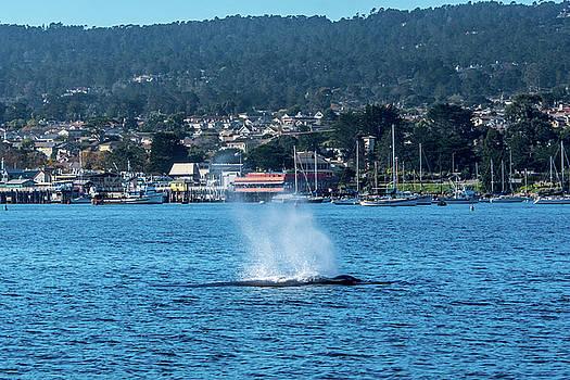 Humpback Whale Monterey Harbor by Randy Straka