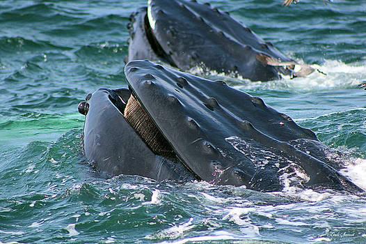 Humpback Whale Mouth by Linda Sannuti