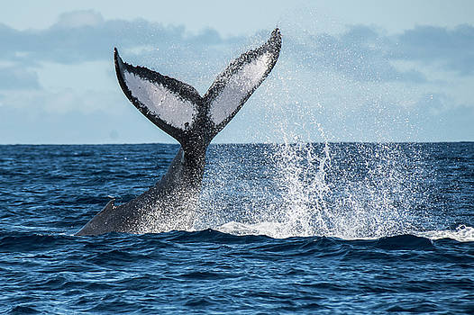 Humpback Whale Off The Coast Of Maui by Matt McDonald
