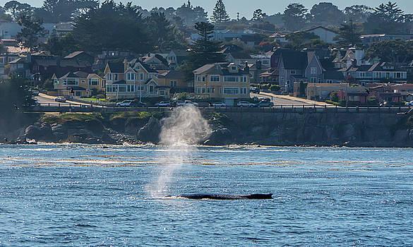 Humpback Whale Pacific Grove, California by Randy Straka