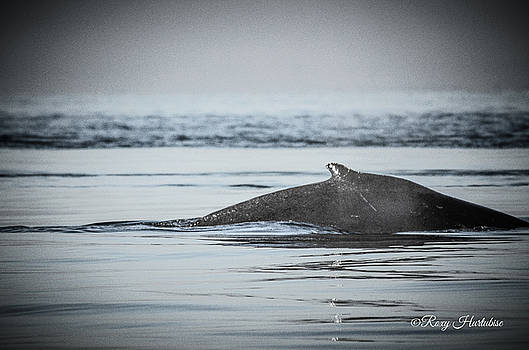 Humpback Whale Surface by Roxy Hurtubise