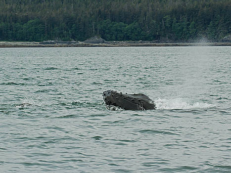 Allan Levin - Humpback whale surfaces and blowhole released.