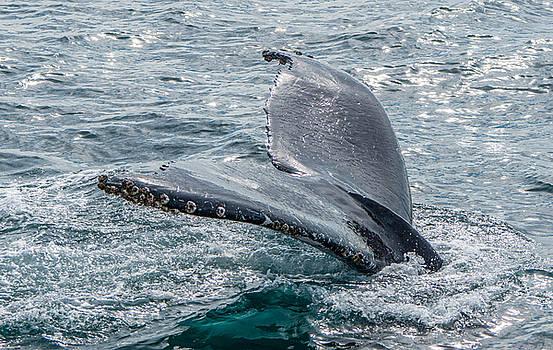Randy Straka - Humpback Whale Tail Flukes Close-up