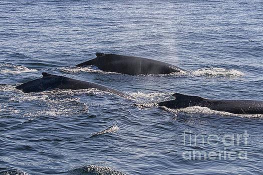 Patricia Hofmeester - Humpback whales in ocean