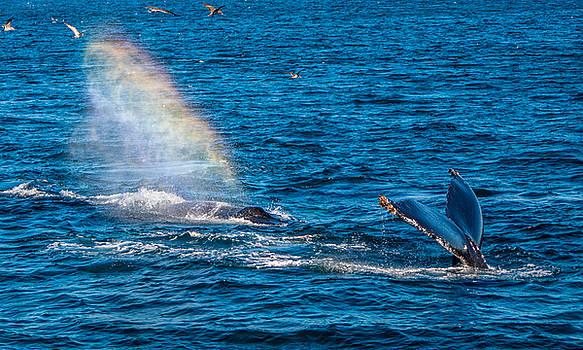 Randy Straka - Humpback Whales Rainblow 3