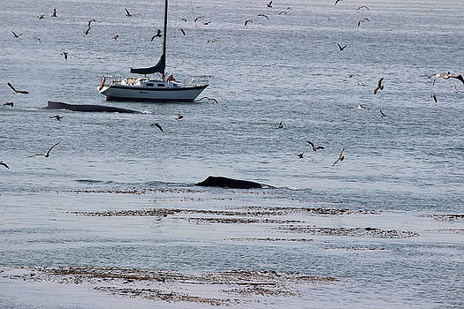 Gary Canant - Humpback whales swim by a sailboat