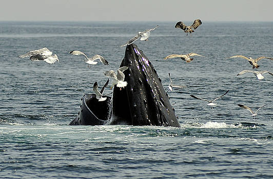 Humpbacks and Gulls by Rick Frost