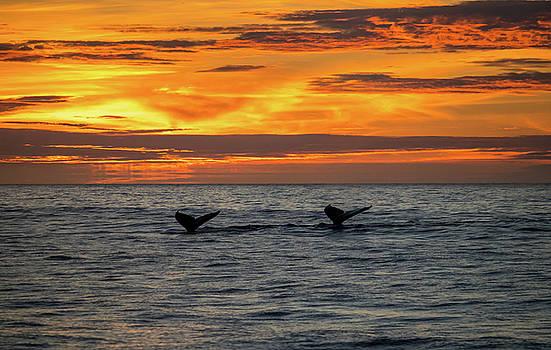 Humpbacks at Sunset, Monterey 1 by Randy Straka