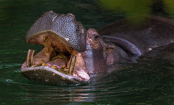 Hungry Hippo by Tito Santiago
