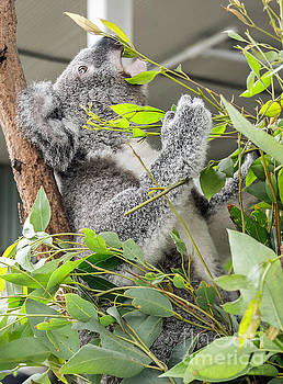Hungry Koala Bear by Jim Chamberlain