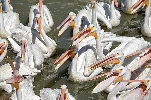Hungry Pelicans by Eunice Gibb